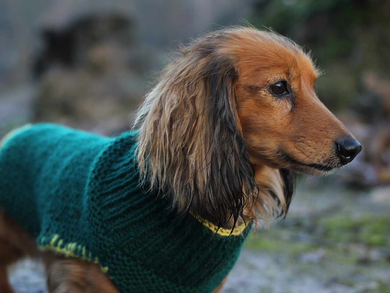 Dachshund Jumper Knitting Pattern Dog Coat Knitting Pattern Saga